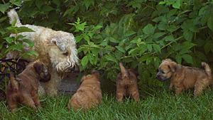 Wheaten Puppies